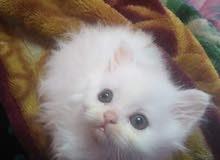 قطة شيرازاى عمر شهر ونص