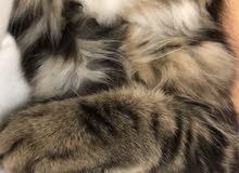 3.5months male kitten