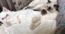 قط هملايا وقطه اكوزتك