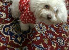 Maltese dog كلبه مالتيز