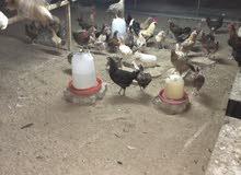 دجاج عربي محلي