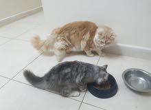 قطه للبيع القطه انتجت 3مرات