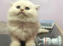 قطة نتاية شيرازى