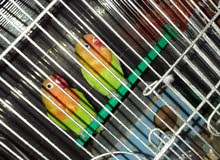 For Sale Love Bird In Pair