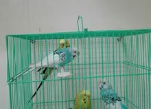 طيور بادجى منتجه الدوادمى