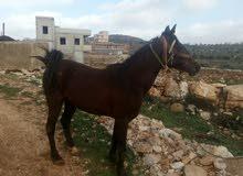 حصان حراث كفاله على العودين