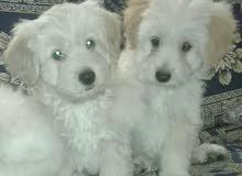 كلاب تيرير  عمر شهرين