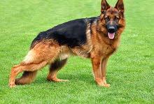للبيع بلاك جاك اصلي أنثي العمر 7شهور الكلب مدرب ولعبوب معه الأطفال