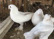 زوج موصلايات بيض
