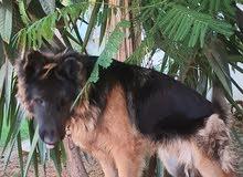 كلب كوستوم اصلي 100%