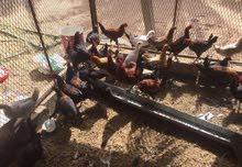 للبيع  دجاج وطني