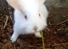 ارنب هولندي كثيف الشعر جميل جدا