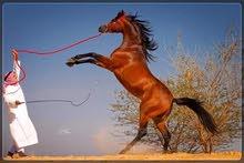مدريب الخيول العربية
