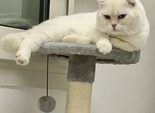 Scottish Fold Male for Mating