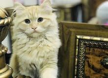 قطط نثيه وذكر شيرازي للبيع