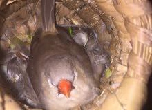 زوج فنجس جامبو اورنج فول خشونه طيور بزارت