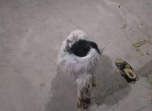 كلبه اجنبيه جاهزه للتبزير