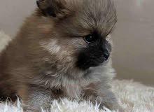 pormorian puppy