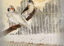 طيور الزيبرا المنتج