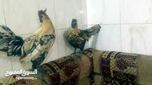 دجاج حباحب