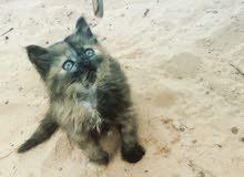 قطوسة فارسيه