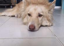 كلب للبيع عمره سنة متدرب