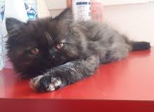 kitten cat قطة بسة