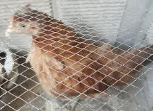 دجاجه عرب