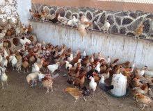 محتاج دجاج عرب بياض