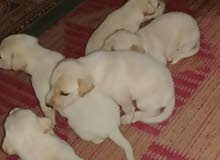 للبيع كلاب لابلادور بيور مستواهم رووعه
