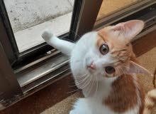 قطه للتبني ولدة في البيت ونظيفه