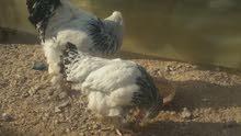 دجاج ابراهمه دجاج تين و ديج