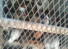 صيصان دجاج للبيع ( فيومي و بلدي )