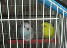 2 طيور عشاق مع القفص