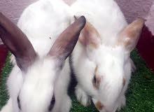 جوز ارانب للبيع بالخبر