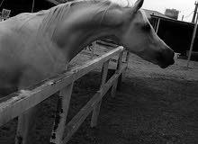 حصان اصفر واهو