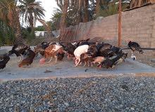 للبيع دجاج رومي الواحد 9 ريال
