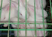 للبيع سلالات ارانب للموسم 2020 بسعر 145 جنيه