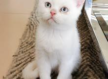 British Short Hair White Kitten 4 Months