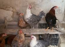 دجاج للبيع بسعر مناسب