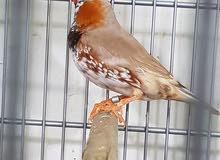 طيور حب هولندي ، طيور حب رينمبو ، فناجس جامبو ، كوكتيلات ،