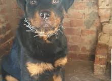 كلب روت 9 شهور