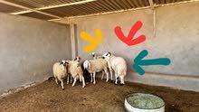 خروف الله يبارك للبيع