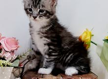 10000-12000dhs each pure maine coon kittens with pedigrees
