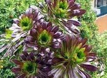 نبات النيونيوم