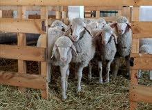 خروف استرالي العمر اقل من سنة مستورد من اوكرانيا  راس على 1250 حي