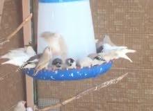 طيور الزيبرا بحالة ممتازة