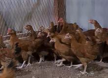 للبيع دجاج انتاج محلي / فرنسي
