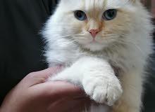 قطط هملايا اورنج₩