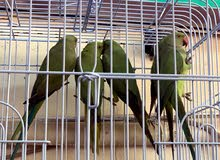 ring neck parrots